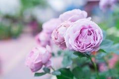 Fleur rose de lavande pourpre sur les milieux brouillés, foyer sélectif avec l'espace de copie Photo stock