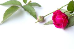 Fleur rose de rose photo libre de droits