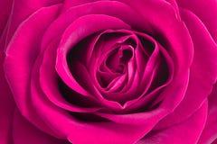 Fleur rose de rose Le rose a monté Photographie stock