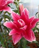 Fleur rose de lis photographie stock libre de droits
