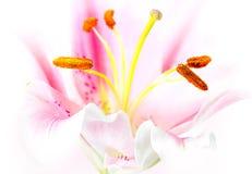 Fleur rose de lis Image stock