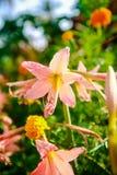 Fleur rose de lis Beau lis rose et fond vert de feuille dans le jardin à l'été ou à la journée de printemps ensoleillé image stock
