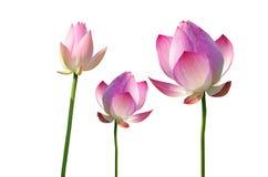 Fleur rose de lis d'eau de Twain (lotus) photo stock