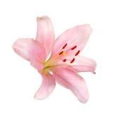 Fleur rose de lis d'isolement sur le blanc Images libres de droits