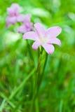 Fleur rose de lis de pluie. Image stock