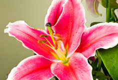 Fleur rose de lis (Lilium) Photographie stock libre de droits