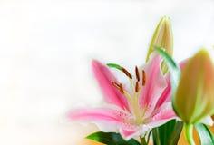 Fleur rose de lis (Lilium) Image libre de droits