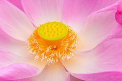 Fleur rose de lotus images libres de droits