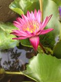 Fleur rose de lotus dans une piscine Photo stock