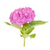Fleur rose de macrophylla d'hortensia Images stock