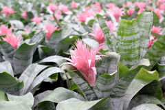 fleur de guzmania photos – 164 fleur de guzmania images