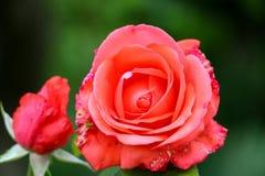 Fleur rose de malade dans le jardin Photos libres de droits
