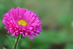Fleur rose de marguerite Photographie stock