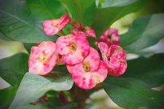 Fleur rose de milii d'euphorbe Image libre de droits