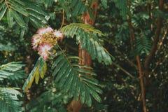 Fleur rose de mimosa Photo libre de droits