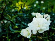 fleur rose de miniature Image stock