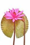 Fleur rose de nénuphar Photographie stock libre de droits