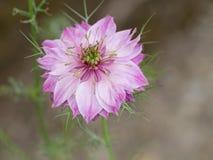 Fleur rose de Nigella, belle fleur de jardin, plus habituellement bleue Image stock