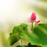 Fleur rose de nénuphar (lotus) Photographie stock libre de droits