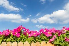 Fleur rose de pétunia avec le fond de nuage et de ciel Photos libres de droits