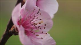 Fleur rose de pêche sur la branche banque de vidéos