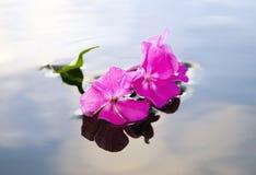 Fleur rose de phlox Photographie stock