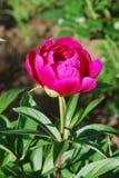 Fleur rose de pivoine Image libre de droits