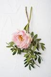 Fleur rose de pivoine sur le fond texturisé blanc Photo stock
