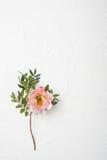 Fleur rose de pivoine sur le fond texturisé blanc Images libres de droits