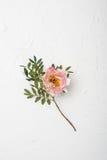 Fleur rose de pivoine sur le fond texturisé blanc Photographie stock