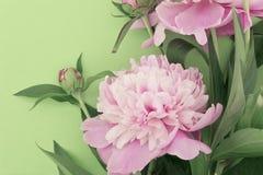 Fleur rose de pivoine sur le fond vert avec l'espace de copie pour le greeti illustration libre de droits