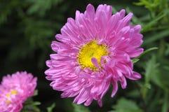 Fleur rose de plan rapproché Photos libres de droits