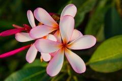 Fleur rose de Plumeria Photographie stock libre de droits