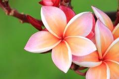 Fleur rose de Plumeria images stock