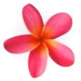 Fleur rose de Plumeria d'isolement sur le blanc Image libre de droits
