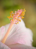 Fleur rose de pollen Image stock