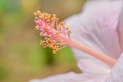 Fleur rose de pollen Photo libre de droits