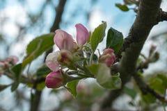 Fleur rose de pomme photos stock