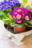 Fleur rose de primevère dans le pot Photographie stock libre de droits