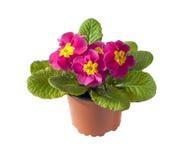 Fleur rose de primevère dans le pot de fleurs sur le fond blanc Images stock