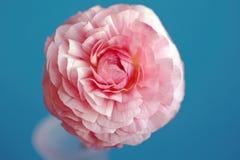 Fleur rose de renoncule Photo stock