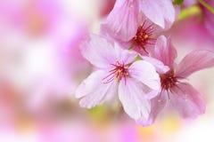 Fleur rose de ressort Images libres de droits