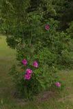 Fleur rose de Rosa Photographie stock