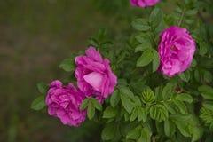 Fleur rose de Rosa Images libres de droits