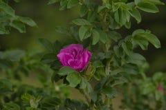 Fleur rose de Rosa Photo stock