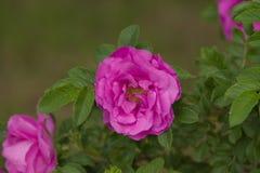 Fleur rose de Rosa Photographie stock libre de droits