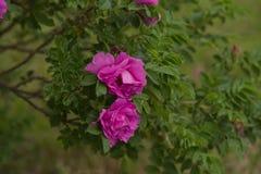 Fleur rose de Rosa Photos libres de droits