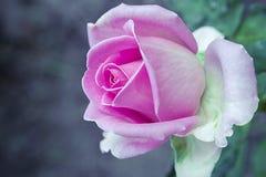 Fleur rose de rose Photographie stock libre de droits