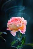 Fleur rose de rose de jaune à un arrière-plan d'obscurité de fumée Image libre de droits