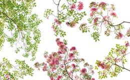 Fleur rose de rosea de Tabebuia Images stock